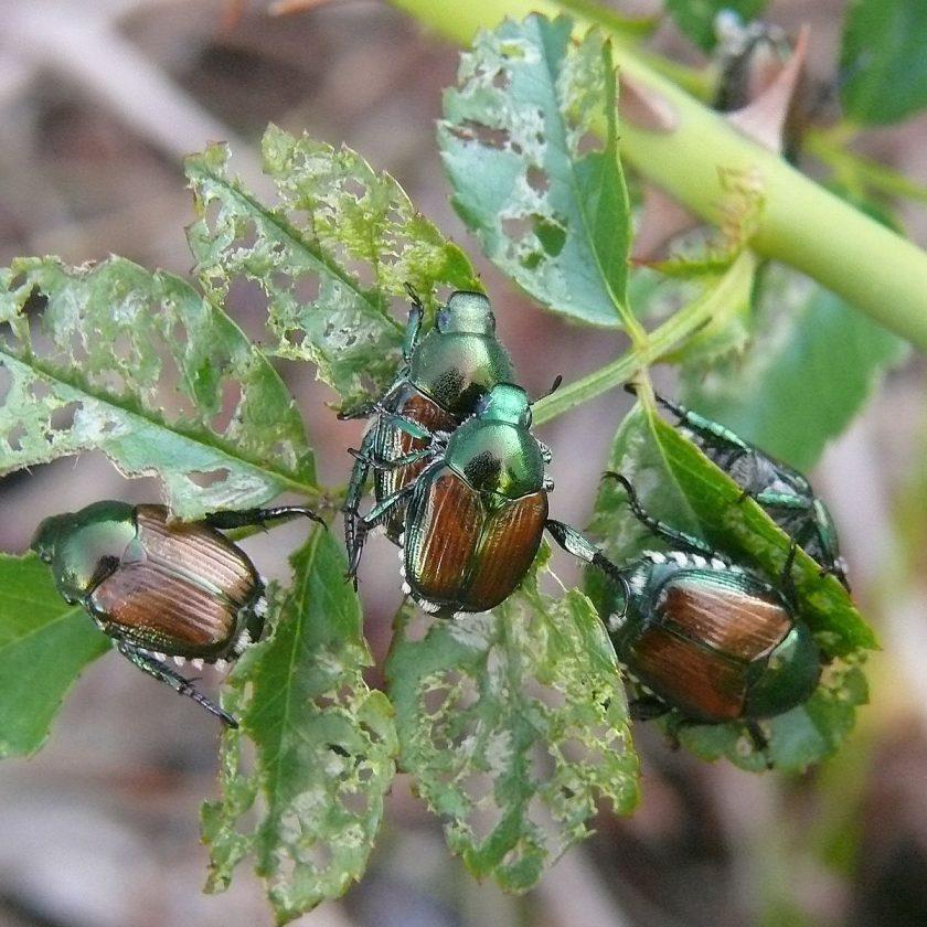 Webinar: Popillia japonica. Nuovi metodi di lotta nella gestione integrata