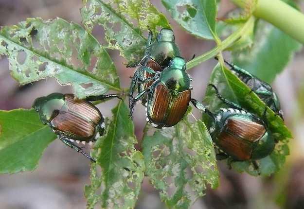 Lombardia, 21 maggio 2020: rinvenuti i primi adulti dell'ON Popillia japonica